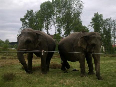 1 Elefant 4 20130527
