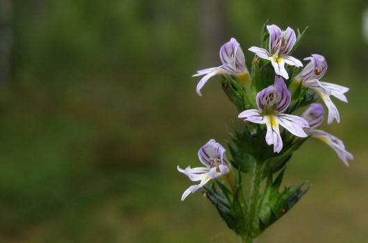 2 IMG_4934 Grå ögontröst Euphrasia nemorosa är en växtart i familjen snyltrotsväxter eller Vanlig ögontröst Euphrasia stricta Familj numera Snyltrotsväxter - Orobanchaceae