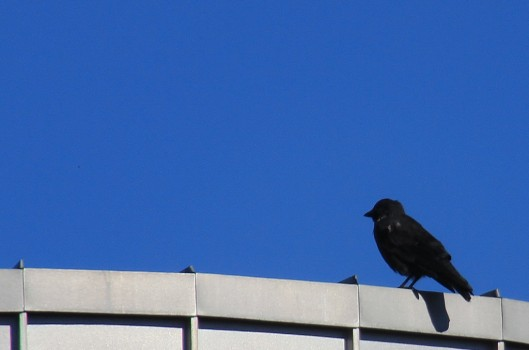 3 IMG_0045 Kaja Corvus monedula spermologus som är den mörkaste underarten