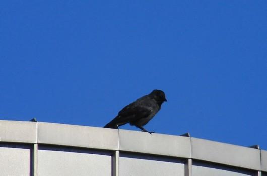 4 IMG_0046 Kaja Corvus monedula spermologus som är den mörkaste underarten
