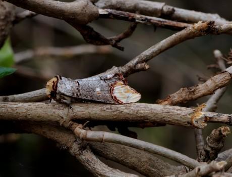 8 Oxhuvudspinnare Phalera bucephala