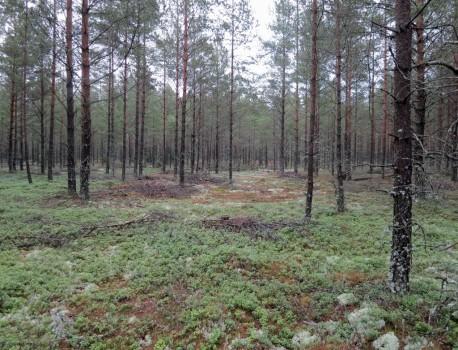 1 IMG_0704 Yngre tallskog med lingon och renlavar