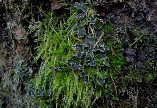 15 P1010769 Brachythecium rutabulum och grynig filtlav