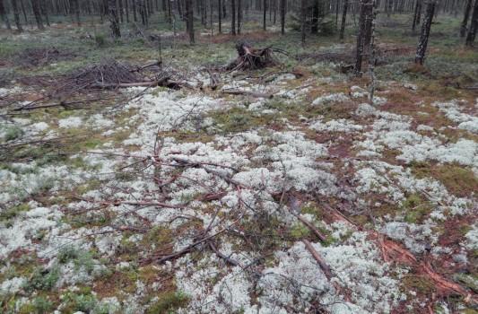 2 IMG_0687 Fyra arter lavar - grå renlav, gulvit renlav, fönsterlav och islandslav