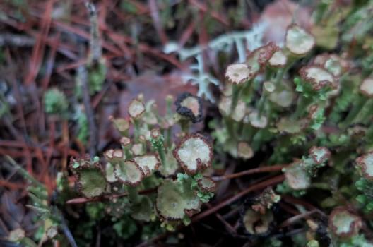 4 IMG_0673 Brun bägarlav Cladonia chlorophaea