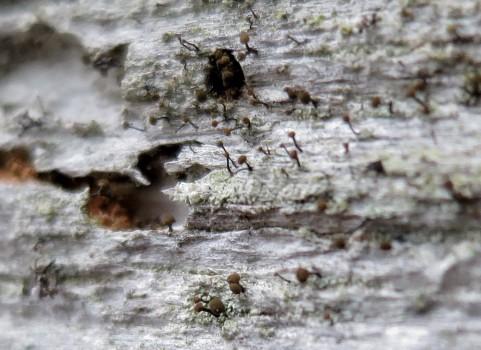 3 IMG_0912 Vednål Chaenotheca brunneola