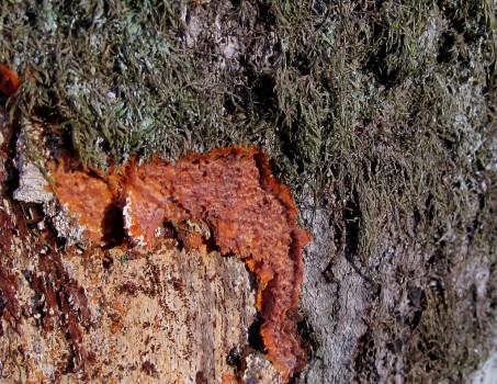 19 IMG_0091 Ribbgrynna Phlebia radiata