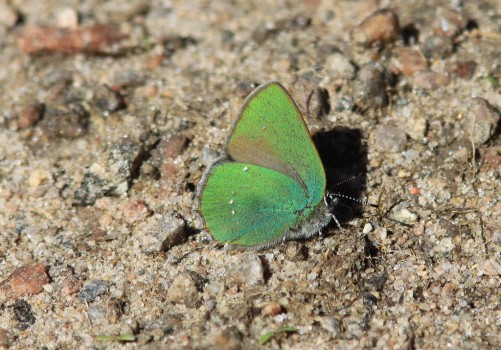 5 IMG_4909 Grönsnabbvinge-björnbärssnabbvinge Callophrys rubi