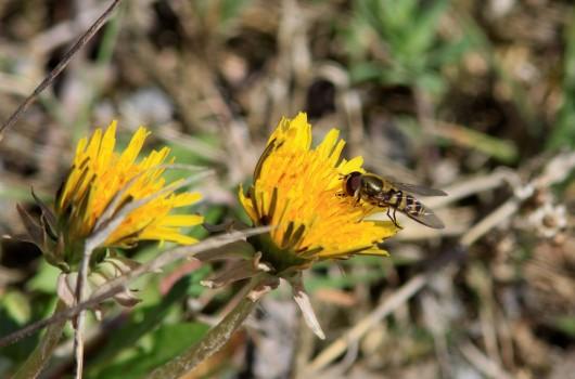 6 IMG_4957 Annan blomfluga= Eristalis, art svårt (flera snarlika)