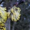 pollenflash