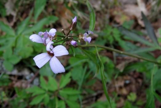 10 IMG_0688 Tandrot, lägg märke till skalbaggen i stora blomman