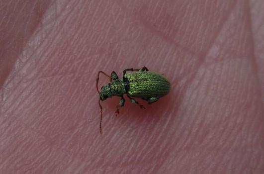 11 IMG_0690 Grön lövvivel släktet _Phyllobius_