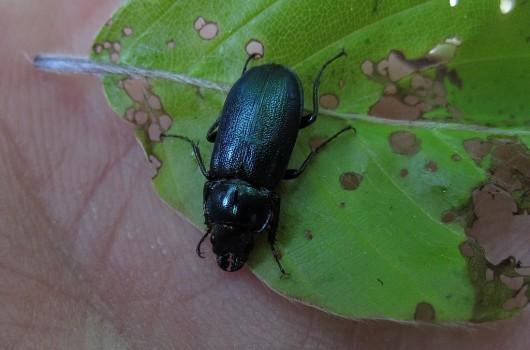 13 IMG_0696 Blåoxe (Platycerus caraboides) är en skalbagge som hör till familjen ekoxbaggar