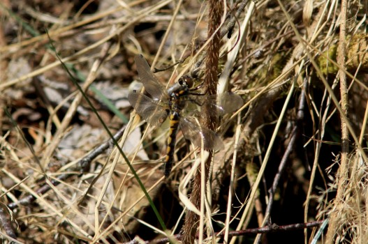 15 IMG_5090 Citronfläckad trollslända Leucorrhinia pectoralis