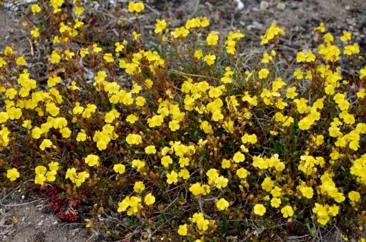 17 Ölands flora 2014 Kjell H Ölandssolvända Öland 201405