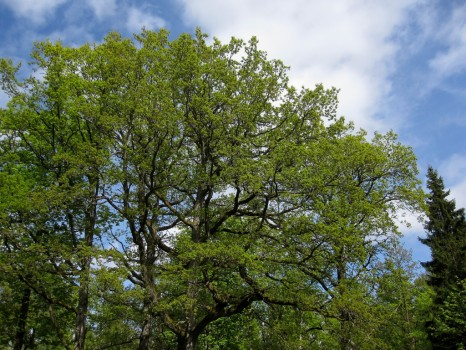 19 IMG_0709 Sjungande mindre flugsnappare i eken