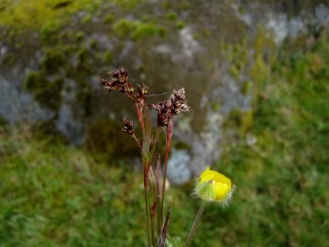 2 IMG_0671 Ängsfryle Luzula multiflora och Backsmörblomma eller Knölsmörblomma_