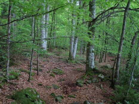 3 IMG_0693 Den vackert ljusgröna bokskogen