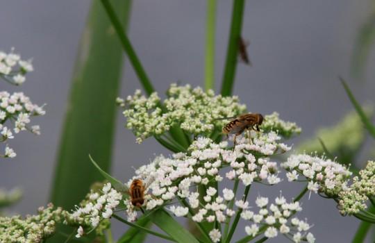 8 IMG_5123 Kirskål i blom med pollinerande blomflugor