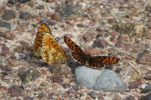 10 IMG_0576 Skogsnätfjäril Melitaea athalia