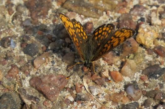12 IMG_0579 Skogsnätfjäril