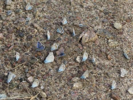 2 IMG_0582 Silverblåvinge Polyommatus amandus Ljungblåvinge Polyommatus argus Hedblåvinge Polyommatus idas