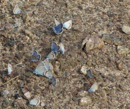 3 IMG_0581 Silverblåvinge Polyommatus amandus Ljungblåvinge Polyommatus argus Hedblåvinge Polyommatus idasIMG_0585