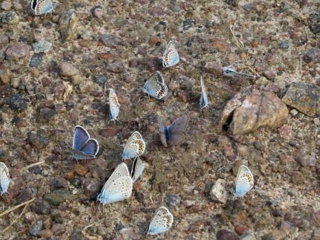 4 IMG_0583 Silverblåvinge Polyommatus amandus Ljungblåvinge Polyommatus argus Hedblåvinge Polyommatus idas