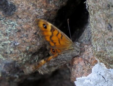 4 IMG_1259 Svingelgräsfjäril Lasiommata megera