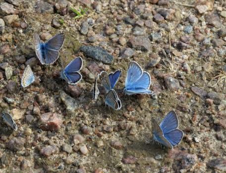 5 IMG_0587 Silverblåvinge Polyommatus amandus Ljungblåvinge Polyommatus argus Hedblåvinge Polyommatus idas