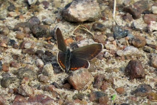 6 IMG_0588 Ev hona Hedblåvinge Polyommatus idas