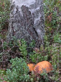 23 IMG_1431 Tegelsopp förr tegelröd björksopp Leccinum versipelle