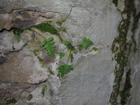 3 IMG_1080 Stensötan växer ur sprickor i värnets vägg