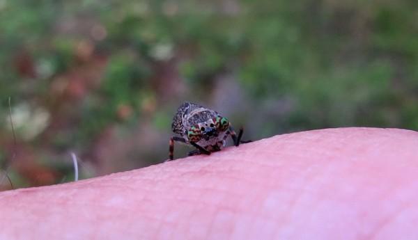 7 IMG_0973 Blinning regnbroms Haematopota pluvialis