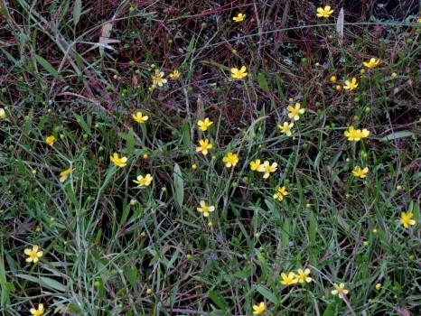 8 IMG_0965 Strandranunkel Ranunculus reptans