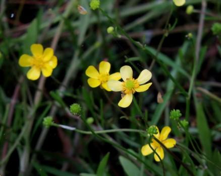 9 IMG_0964 Strandranunkel Ranunculus reptans