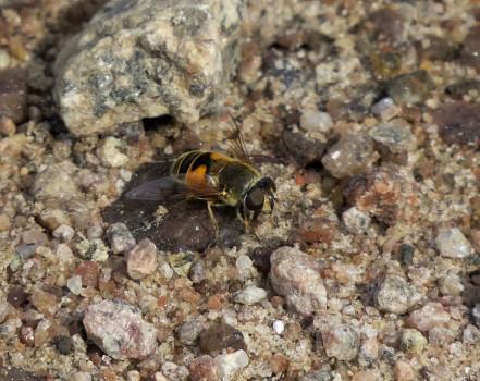 10 IMG_1385 Eristalis-art Slamflugor Eristalis är ett släkte i familjen blomflugor
