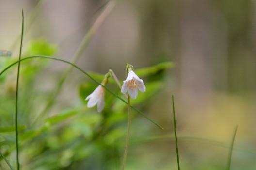 21 Linnéa i blom 20140629 Kjell H