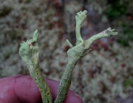 25 IMG_1506 Trasig pöslav Cladonia sulphurina