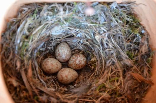 3 Grå flugsnappare ägg i rede 20140629 Kjell H