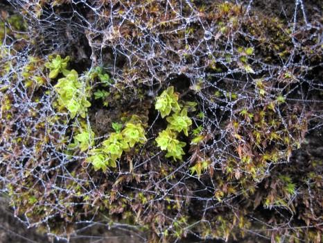 3 IMG_1388 Stor klockmossa Encalypta streptocarpa växer på betongen på Bockavärnet