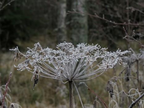 1 IMG_1879 Apiaceae - Umbelliferae