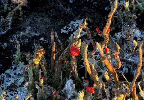 10 IMG_2000 Pinnlav Cladonia floerkeana