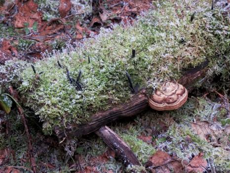 3 IMG_2050 Langhorn Xylaria longipes
