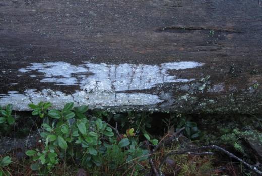 5 IMG_1914 Vinterskinn Erythricium laetum pa tallved