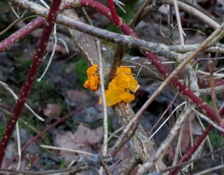 13 IMG_2274 Kornell kanske _Cornus alba_ ar en buske i fami
