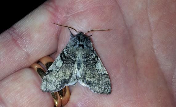1 Björkgulhornspinnare Achlys flavicornis 20150401