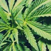 150604_marijuana