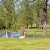 162. Svanar kring Stödstorp. Foto: Sandra Johannesson. 150814