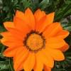 195. En blomma  i vår trädgård i Vaggeryd. Foto: Sten Lennartsson